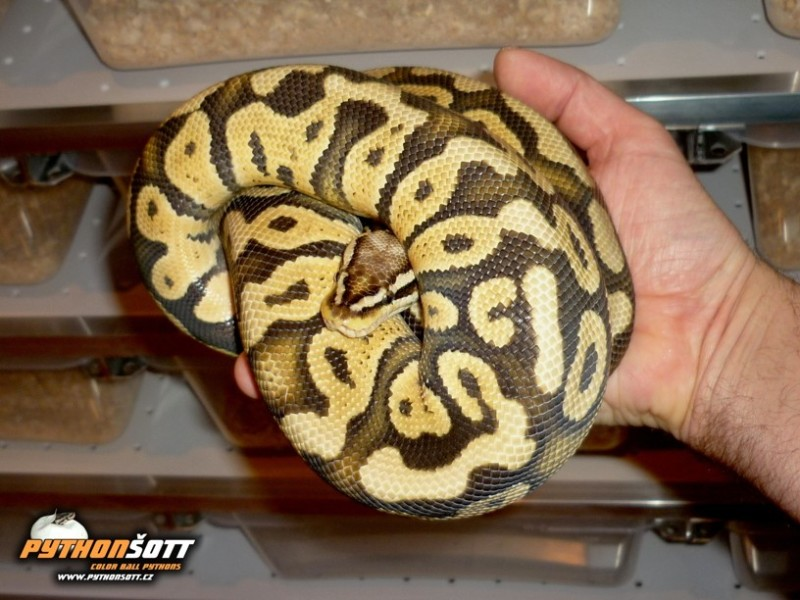 ♂ Super Pastel het. Clown