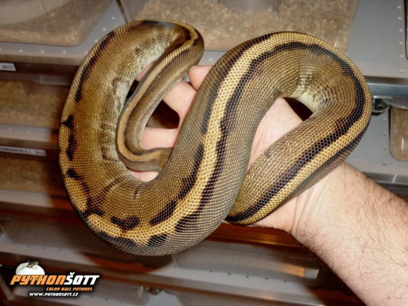 ♀ Enchi Genetic Stripe